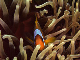 Two-Banded Anemonefish in Anemone  - Amphiprion Bicinctus 12