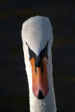 Mute Swan from Front