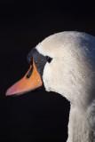 Mute Swan from Side