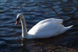 Mute Swan on Water