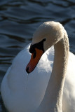 Mute Swan on Water 04
