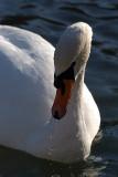Mute Swan on Water 05