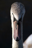 Young Mute Swan from Front