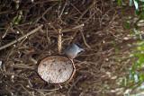 Male Blackcap on Coconut