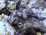 Pocupine Fish Feeding