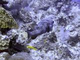 Pocupine Fish Swimming Away