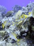 Schoolmaster Fish  Grunts