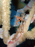 Decorator Crab and Brittle Star in Soft Coral