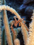 Decorator Crab in Soft Coral 2