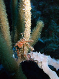 Decorator Crab in Soft Coral 3