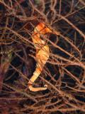Orange Seahorse 3