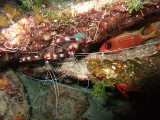Pair of Banded Cleaner Shrimp and Hiding Squirrelfish