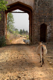 Follow the Cows