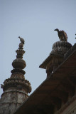 Indian Vultures on the Chhatris