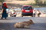 Cow in the Road Orchha
