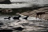 Goats Crossing Betwa River Orchha 01