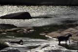 Goats Crossing Betwa River Orchha 02