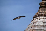 Indian Vulture in Flight Orchha