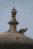 Indian Vultures on the Chhatris Orchha 02