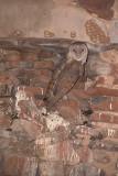 Barn Owl in Chhatris Orchha