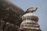 Indian Vultures on the Chhatris Orchha 04