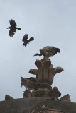 Crows Attacking Vultures