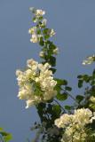 White Bougainvillaea