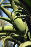 Aloe Vera in Close