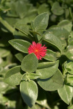 Small Red Flower