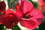 Red Bougainvillea Majorelle Gardens