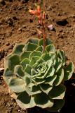 Succulent in Bloom
