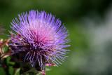 Artichoke Blossom - Robert Wagner Jr Park