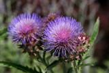 Artichoke Blossoms - Robert Wagner Jr Park