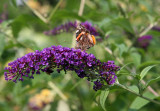 Butterfly on a Butterfly Bush Blossom - Home Garden Center