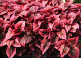 Coleus - Home Garden Center