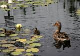 Ducks - Lily Pond Area
