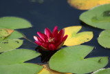 Water Lily - Lily Pond Area