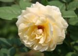 Rose - Conservatory Gardens