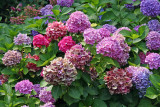 Hydrangea - Conservatory Gardens