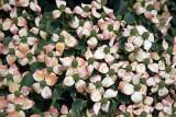 Dogwood Blossoms - Conservatory Gardens