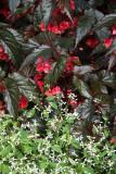Begonias & Spurge - Conservatory Gardens