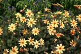 Asters - Conservatory Gardens