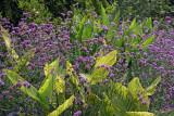 Canna & Salvia - Conservatory Gardens