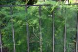 Ipomoea quamoclit or Cypress Vine Cardinal Climber