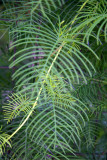 Ipomoea quamoclit or Cypress Vine Cardinal Climber Foliage