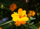 Orange Cosmos Blossoms