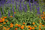 Salvia & Asters - Home Gardens