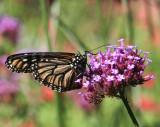 Monarch & Salvia - Home Gardens