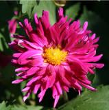 Dahlia - Home Gardens