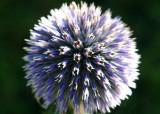Thistle Blossom - Home Gardens